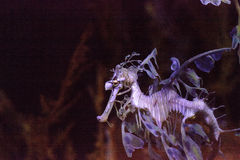 Bladseadragon Phycodurus eques royalty-vrije stock fotografie