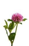 Bladväxt av släktet Trifolium Arkivfoto