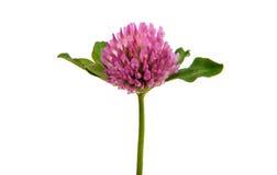 Bladväxt av släktet Trifolium Arkivfoton
