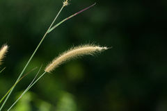Blady Grass flower (Imperata cylindrica) Stock Photos