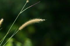 Blady Grass flower (Imperata cylindrica) Stock Photos