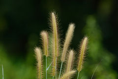 Blady Grass flower (Imperata cylindrica) Stock Photography