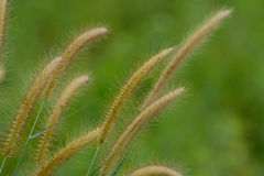 Blady Grass flower (Imperata cylindrica) Royalty Free Stock Images