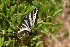 Blady Swallowtail motyl zdjęcia stock