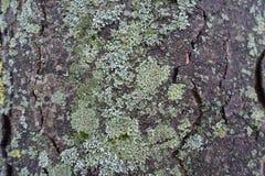 Blady szarawy zielony liszaj zakrywa drzewną barkentynę Zdjęcie Stock