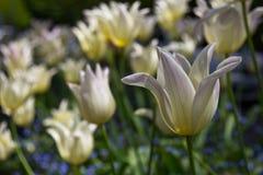 Bladzi tulipany Obrazy Stock