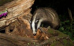Blaireau adulte, Meles Meles, forageant sur un identifiez-vous une forêt BRITANNIQUE photographie stock