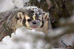 Blaireau américain dans la neige Image stock