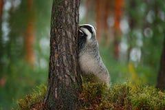 Blaireau dans la forêt, habitat de nature animale, Allemagne, l'Europe Scène de faune Blaireau sauvage, meles de Meles, animal en Photos libres de droits