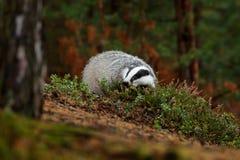 Blaireau dans la forêt, habitat de nature animale, Tchèque, l'Europe Scène de faune Blaireau sauvage, meles de Meles, animal en b Image stock