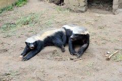 Blaireau de miel au centre de réadaptation de faune de Moholoholo, Afrique du Sud photo libre de droits
