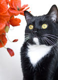 Blaсk cat and red poppies Royalty Free Stock Photos