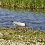 Blak headed gull Royalty Free Stock Photo