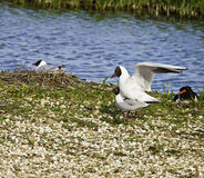 Blak headed gull Royalty Free Stock Photos