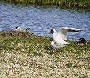 Blak headed gull. Male and female Black headed gull (Larus ridibundus)during mating season at RSPB nature reserve, Southport, Lancashire, UK Royalty Free Stock Photos