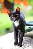 Blak-Katze Lizenzfreies Stockfoto