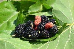 Blak and pink mulberry Stock Photos
