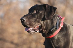 Blake Great Dane Royalty Free Stock Image