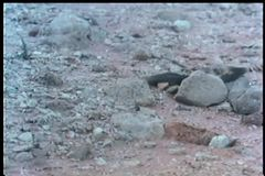 Blake snake crawling across rocky terrain stock video footage