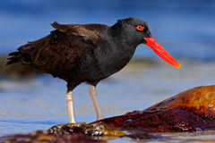 Blakish oystercatcher, Haematopus ater, black water bird with red bill, in the sea, Falkland Islands. Antarctica Royalty Free Stock Image