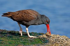 Blakish oystercatcher, Haematopus ater, black water bird with red bill, in the sea, Falkland Islands. Sea food in the red bill. Wi. Blakish oystercatcher Royalty Free Stock Image