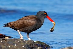 Blakish oystercatcher, Haematopus ater, black water bird with red bill, in the sea, Falkland Islands. Sea food in the red bill. Wi. Ldlife scene from nature Royalty Free Stock Image