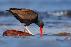 Blakish oystercatcher, Haematopus ater, with oyster in the bill, black water bird with red bill. Bird feeding sea food, in the sea. Argentina Stock Photo