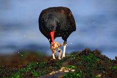 Blakish oystercatcher, Haematopus ater z ostrygą w rachunku, czerń wodny ptak z czerwonym rachunkiem, karmi dennego jedzenie w mo Obraz Royalty Free