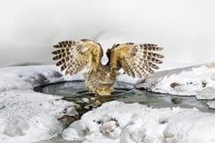 Blakiston ` s鱼猫头鹰,腹股沟淋巴肿块blakistoni,猫头鹰,鱼猫头鹰,老鹰小群的最大的生存种类  在冷水的鸟狩猎 免版税图库摄影