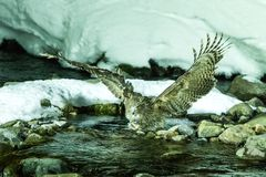 Blakiston`s fish owl, bird hunting in fish in cold water creek,  unique natural beauty of Hokkaido, Japan, birding adventure in As. Ia, big fishing bird in royalty free stock photography