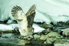 Blakiston`s fish owl, bird hunting in fish in cold water creek,  unique natural beauty of Hokkaido, Japan, birding adventure in As. Ia, big fishing bird in stock image