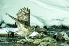 Blakiston`s fish owl, bird hunting in fish in cold water creek,  unique natural beauty of Hokkaido, Japan, birding adventure in As. Ia, big fishing bird in royalty free stock photo