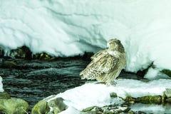 Blakiston`s fish owl, bird hunting in fish in cold water creek,  unique natural beauty of Hokkaido, Japan, birding adventure in As. Ia, big fishing bird in stock photography