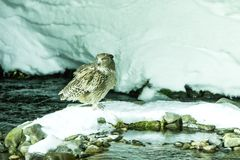 Blakiston`s fish owl, bird hunting in fish in cold water creek, unique natural beauty of Hokkaido, Japan, birding adventure in As. Blakiston`s fish owl, bird royalty free stock photography