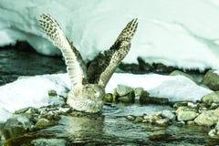 Blakiston`s fish owl, bird hunting in fish in cold water creek,  unique natural beauty of Hokkaido, Japan, birding adventure in As. Ia, big fishing bird in stock photo