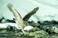 Blakiston`s fish owl, bird hunting in fish in cold water creek,  unique natural beauty of Hokkaido, Japan, birding adventure in As. Ia, big fishing bird in royalty free stock images