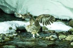 Blakiston`s fish owl, bird hunting in fish in cold water creek,  unique natural beauty of Hokkaido, Japan, birding adventure in As. Ia, big fishing bird in royalty free stock image