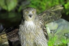 Blakiston's Fish Owl royalty free stock images