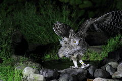 Blakiston's Fish Owl Royalty Free Stock Image