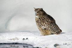 Blakiston`s fish owl, Bubo blakistoni, largest living species of owl, fish owl, eagle owl. Bird hunting in cold water. Wildlife s Stock Photos