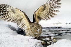 Blakiston`s fish owl, Bubo blakistoni, largest living species of owl, fish owl, a sub-group of eagle. Bird hunting in cold water. Stock Photography