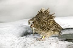 Blakiston`s fish owl, catch fish in bill, largest living species of owl, fish owl, eagle owl. Bird hunting in cold water. Wildlif Stock Photography