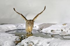 Blakiston`s fish owl, caught fish in the bill, largest living species of owl. Bird hunting in cold water with snow. Wildlife scen stock images