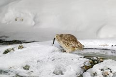 Blakiston`s fish owl, caught fish in the bill, largest living species of owl. Bird hunting in cold water with snow. Wildlife scen royalty free stock photo
