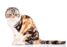 blanc écossais de studio de projectile de pli de chat de fond photos stock