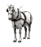 Blanc élégant de cheval Photos stock