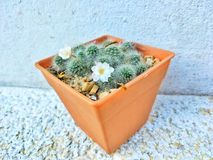 Blanc-épine de cactus de groupe dans le pot en plastique orange Photo stock