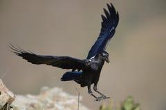 blanc étranglé de corbeau photos libres de droits