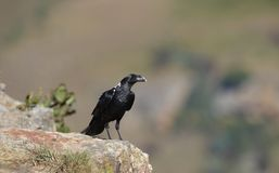 blanc étranglé de corbeau Photographie stock