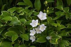 Blanc alba de Carpatica de campanules, comme fond Photographie stock libre de droits